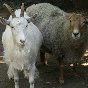 Корма для МРС (Козы, овцы)