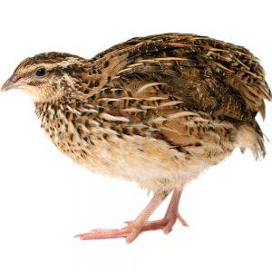 Перепела, водоплавающая птица